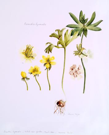 Eranthis hyemalis, by Vivienne Taylor