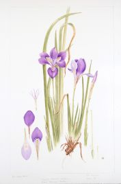 Iris unguicularis, by Jill Holcombe