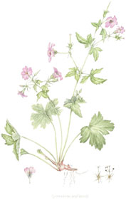 Geranium endressii, by Lesley Badger