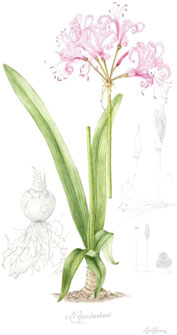 Nerine bowdenii, by Pamela Furniss