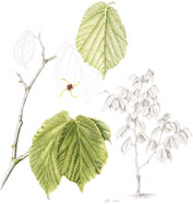 Hamamelis mollis, by Jane Howell