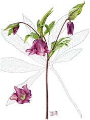Helleborus x hybridus, by Susan Christopher-Coulson