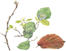 Fothergilla major, by Anne Dent