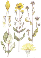 Helianthus mollis, by Valerie Oxley