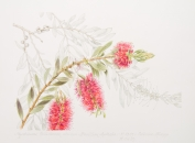 Callistemon citrinus, by Cathrine Allsopp