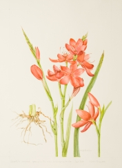 Schizostylis coccinea, by Judyth Pickles