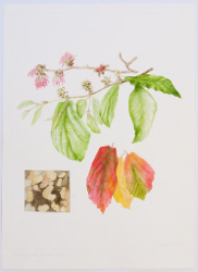 Parrotia persica, by Sheila Stancill