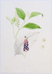 Phytolacca americana, by Sheila Stancill