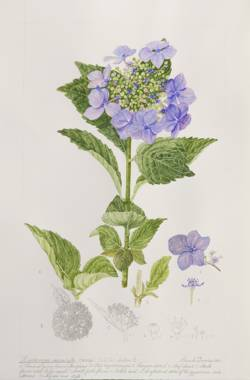 Hydrangea macrophylla, by Pamela Furniss