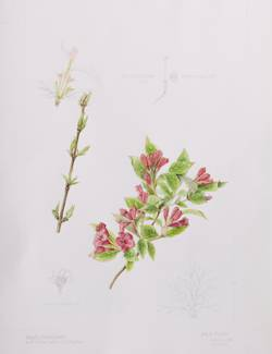 Weigela 'Briant Rubidor', by Judyth Pickles