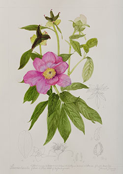 Paeonia obovata, by Pamela Furniss